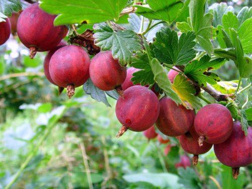 Спелые плоды крыжовника Колобок на ветке с небольшим количеством шипов