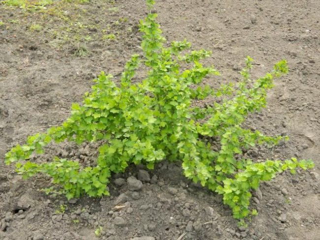 Раскидистый куст крыжовника растёт в земле