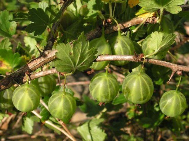 Колючая ветка крыжовника сорта Малахит со спелыми ягодами