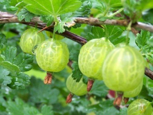 Крепкая ветка садового крыжовника Малахит с зелёными плодами