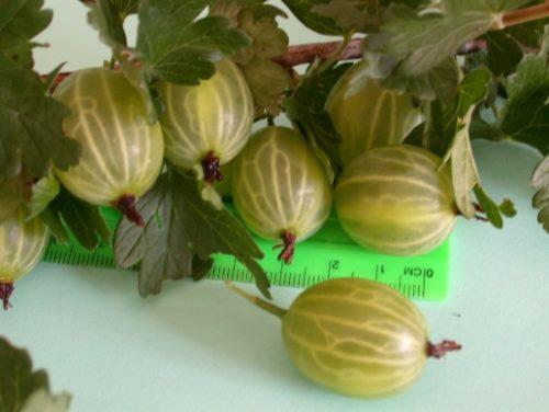 Размеры ягод крыжовника Малахит зависят от срока плодоношения