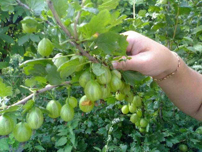 Рука женщины поднимает куст крыжовника с плодами