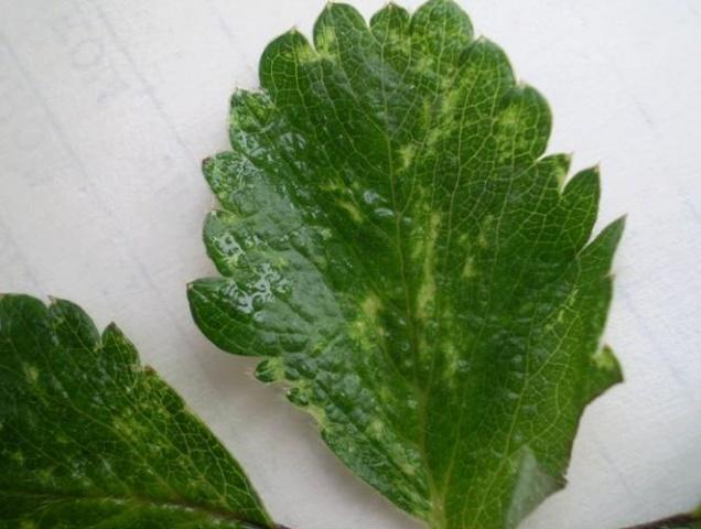 Курчавость листа клубники, вызванная заражением вирусной инфекцией