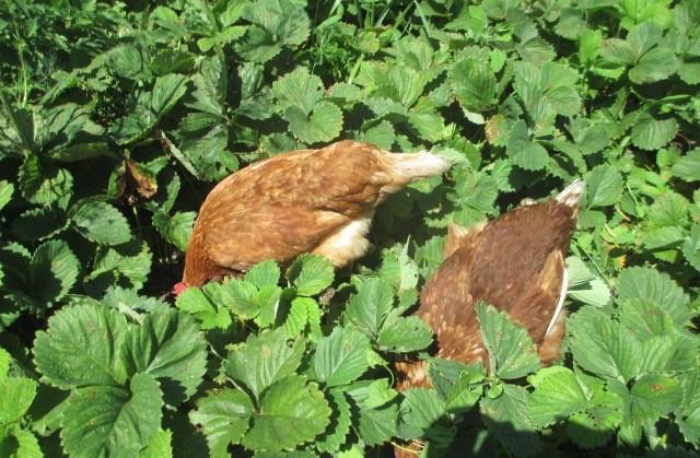 Курицы клюют слизней на плантации клубники