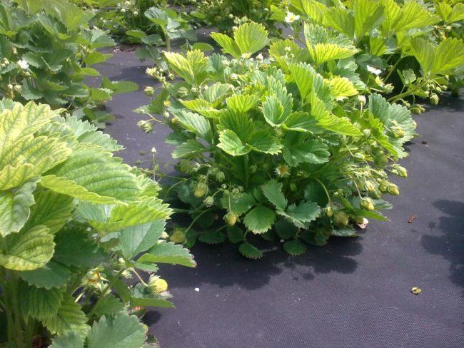Посаженный кусты клубники в саду