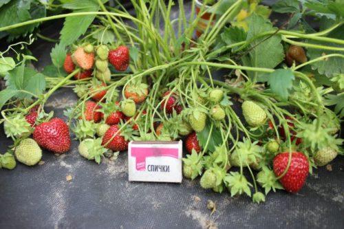 Количество ягоды на одном кусту клубники Соловушка