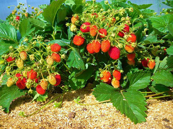 Рослый куст клубники Машенька на втором году жизни, спеют ягоды