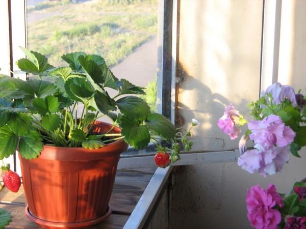 Куст клубники с ягодами у открытого окна