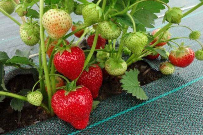Клубника Соната с ягодами на агроволокне
