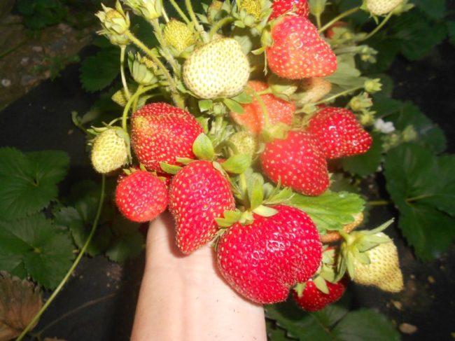Куст клубники с ягодами в руках