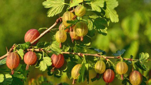 Ветка с ягодами крыжовника розово-зелёного цвета