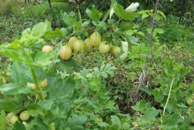 Рослые ветки крыжовника Малахит и созревающие на них ягоды