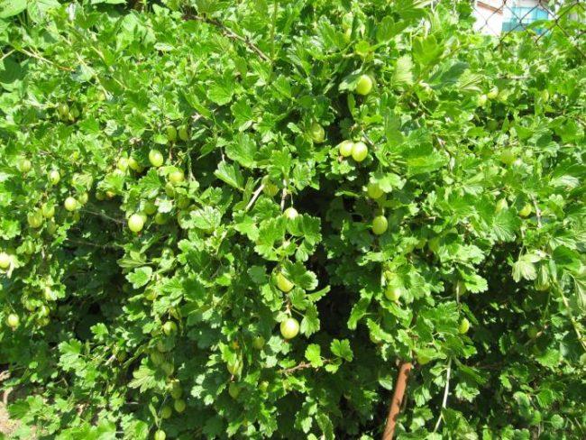 Мощные и рослые кусты крыжовника сорта Малахит, растущие в Самарской области
