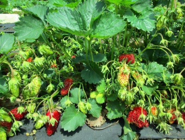 Рослые и мощные кусты клубники сорта Купчиха в конце лета