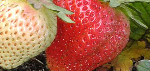 Плоды клубники Вима Занта спелые и зелёные