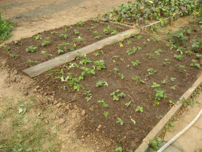 Грядка с молодыми кустиками садовой клубники