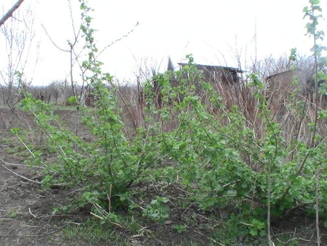 Молодые кусты гибрида Йошты в начале весны на приусадебном участке