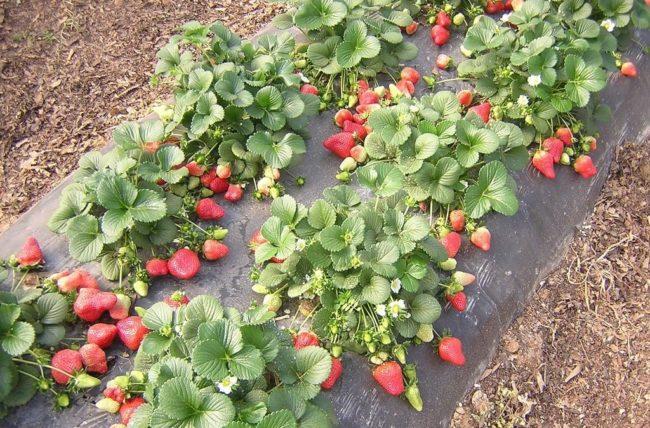 Кусты клубники с ягодами на черном материале