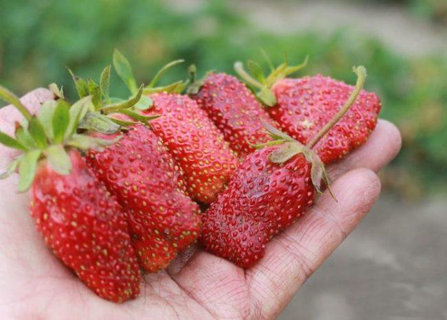 Большие плоды земклуники на руке