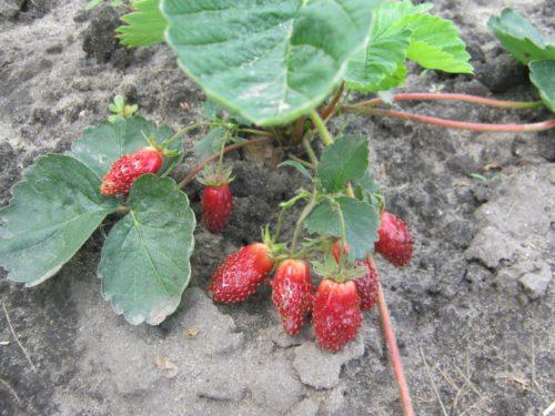 Плоды земклуники на грядке