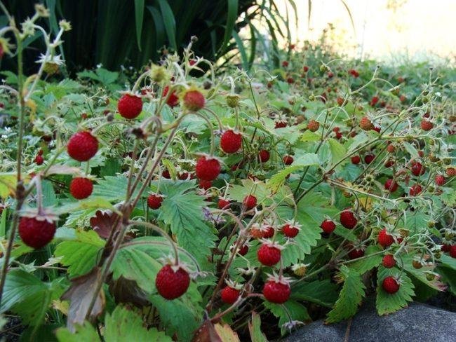 Клубника мелкоплодная сорта Лесная сказка, ярко красные ягоды шаровидной формы