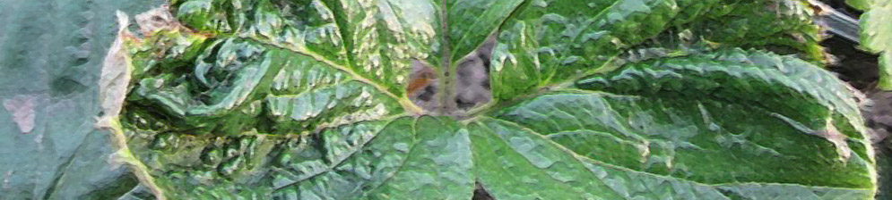 Листья клубники поражённые земляничным клещом