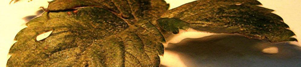 Листья клубники поражённые клещом