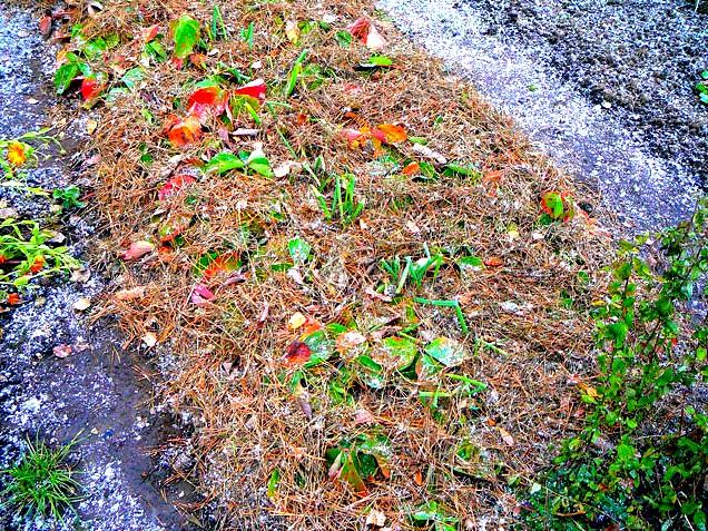 Клубника под листвой