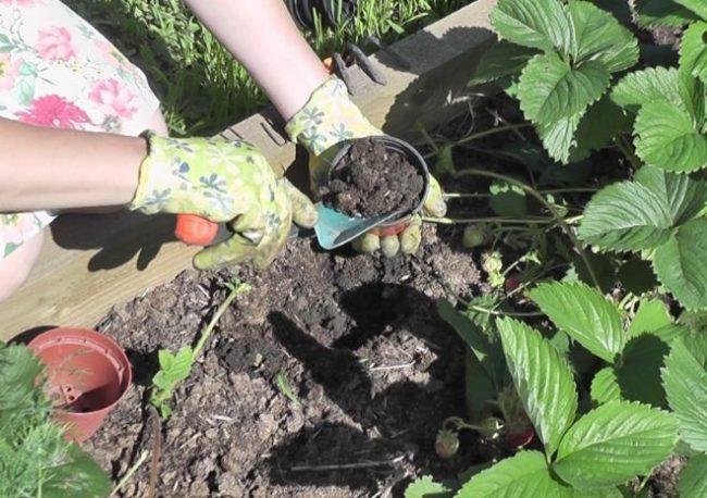 Лунка для посадки розетки клубники и земля для укоренения усов