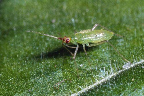 Взрослый клоп Макролофус ищет жертву на листе клубники
