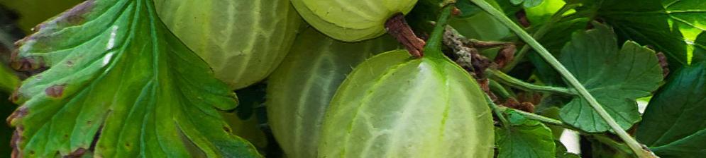 Крыжовник сорта малахит вблизи плоды на кусте