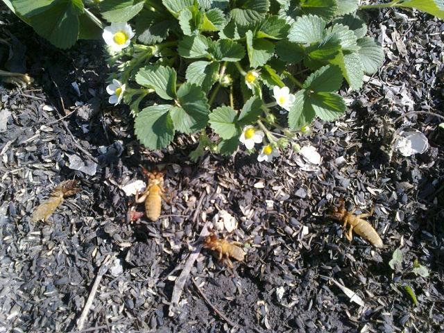 Крупные особи медведки около цветущего куста садовой клубники