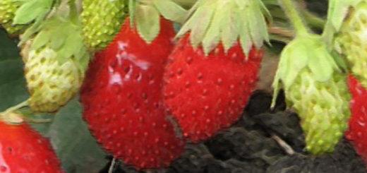 Плоды клубники Милан вблизи