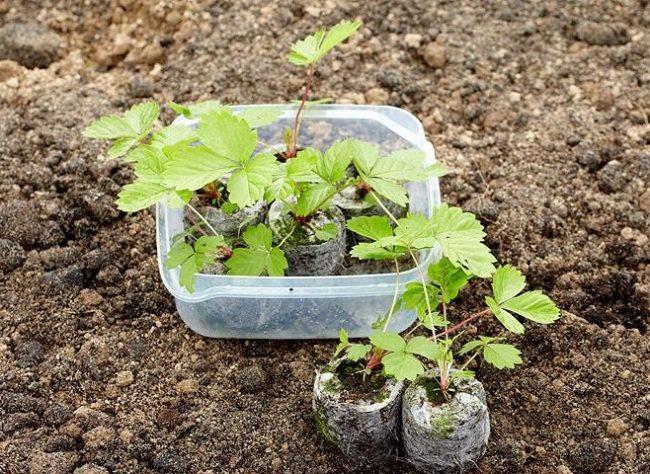 Сеянцы клубники для посадки в открытом грунте