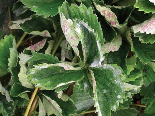 Больной лист садовой клубники с белесым налетом, признак заражения мучнистой росой