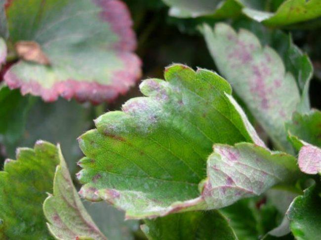 Мучнистая роса на листьях клубники