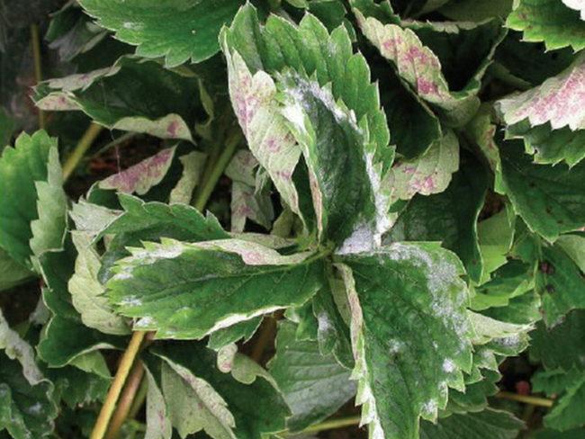 Белый налет на листьях клубники, признак поражения растения мучнистой росой
