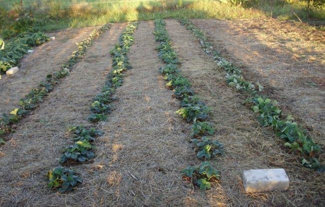 Ряды садовой клубники и мульча из соломы