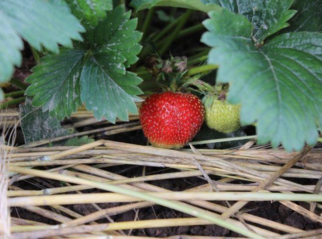Мульчирование клубники рожью вблизи и плод клубники