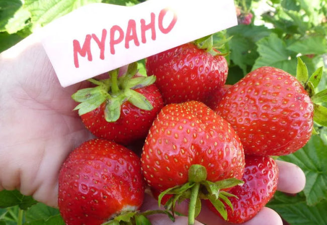 Плоды клубники Мурано