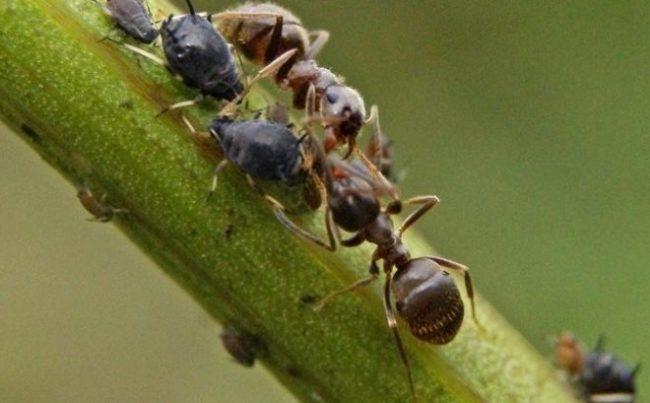 Черные муравьи на зеленом стебле ремонтантной клубники
