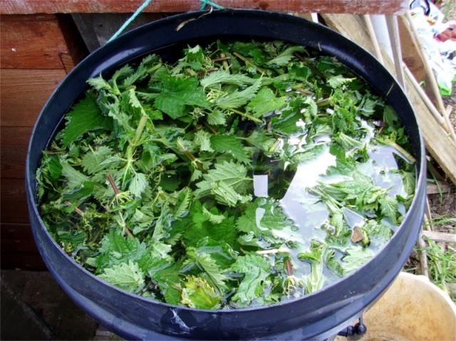 Ведро с настоем крапивы для подкормки клубники Мурано