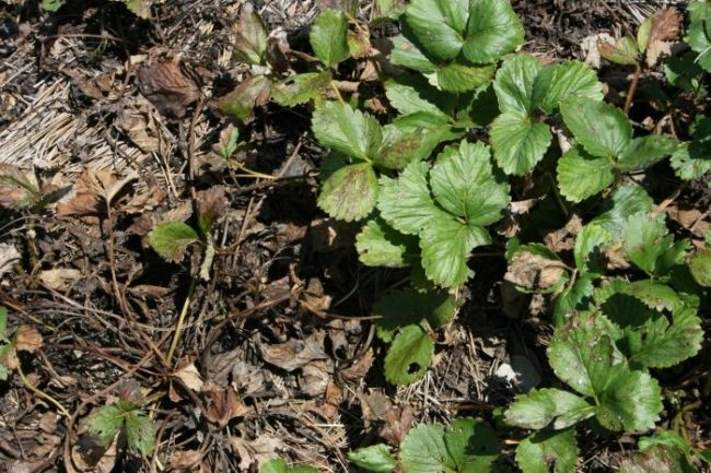 Нематода на листьях клубники