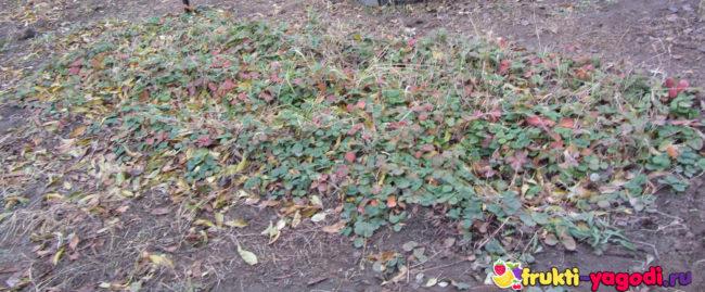 Кусты обычной клубники осенью грядка