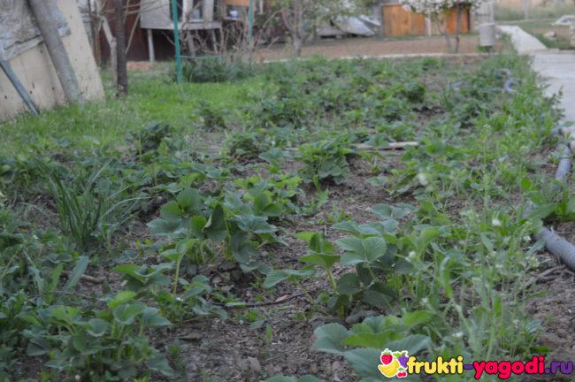 Обработанная клубника по весне после прополки и полива