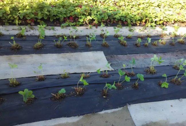 Грядка с клубникой, обрезанной под корень после сбора урожая