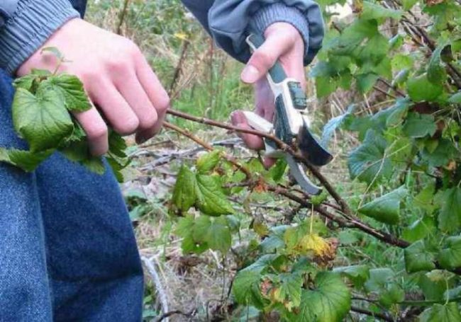 Осенняя обрезка куста Йошты, удаление поломанных веток и не успевших одеревенеть