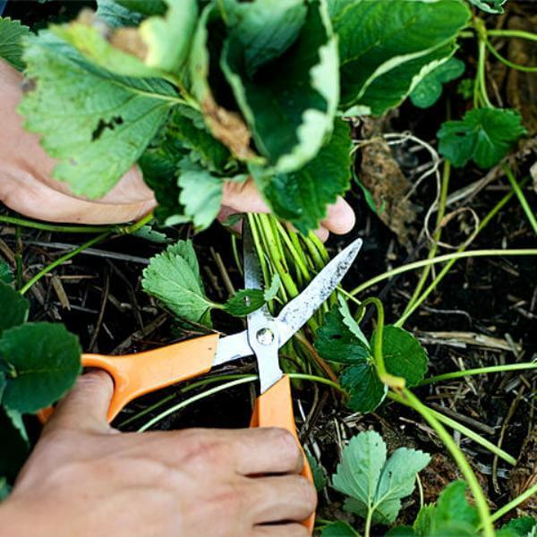 Обрезка листвы ремонтантной клубники сразу после плодоношения