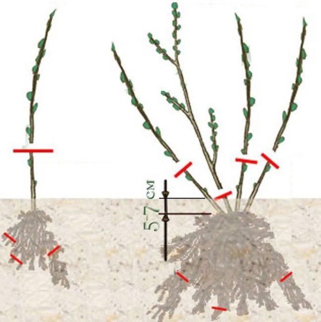 Обрезка саженца крыжовника перед высадкой на постоянное место произрастания