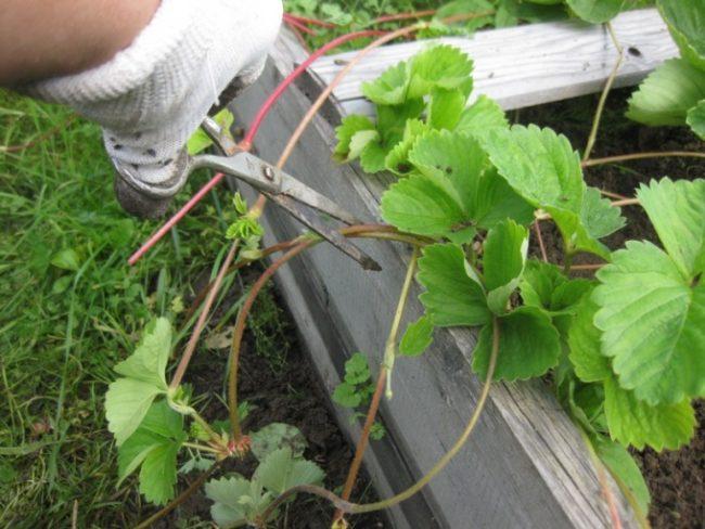 Обрезка усов садовой клубники ножницами в начале лета
